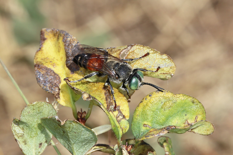 Square-Headed Wasp (Crabronidae)