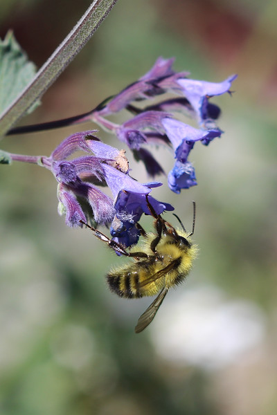 Bomble Bee (Bombus)