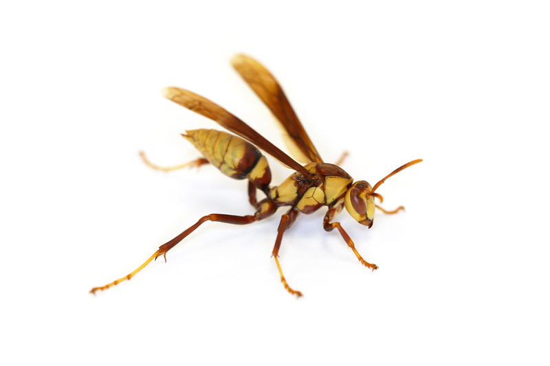 Paper Wasp Fall Gyne (Polistes major)