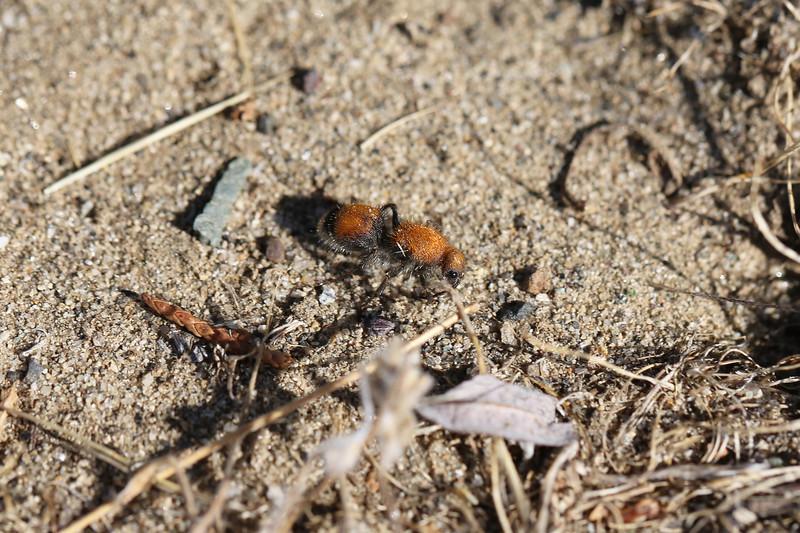 Velvet Ant (Mutillidae)
