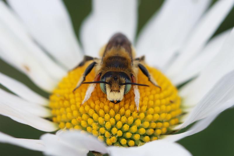 Western Leafcutter (Megachile perihirta)
