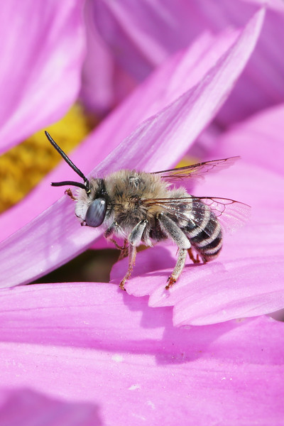 Digger Bee (Anthophora)