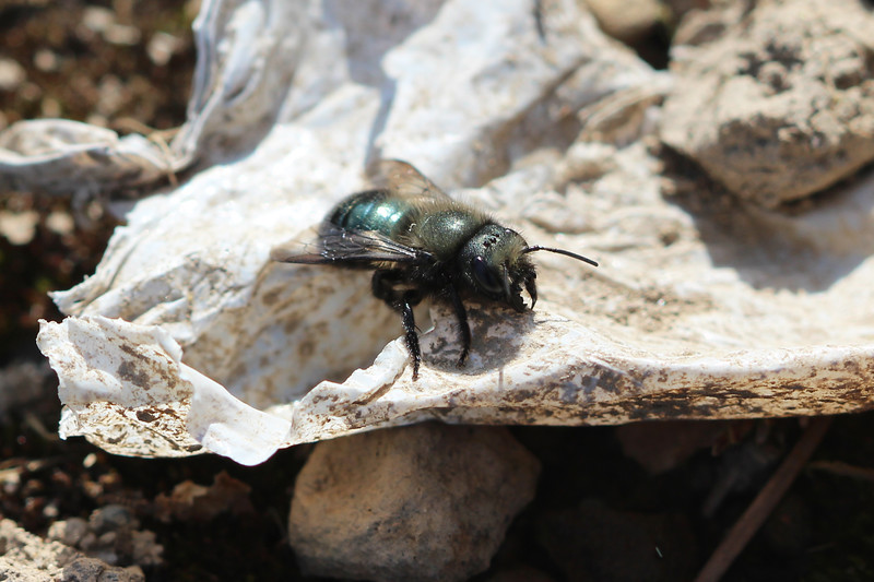Blue Orchard Bee (Osmia lignaria)