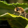 Bee sp, Andrena (probably Andrena Flavipes)
