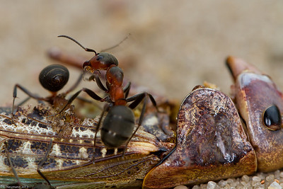 Southern wood ant (Formica rufa) and dead cricket