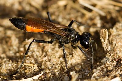 Digger Wasp (Podalonia hirsuta)