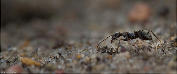 Black garden ant (Lasius niger)