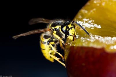 German yellow jacket (Vespula germanica)