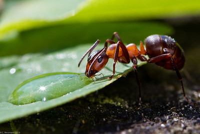 Southern wood ant drinking (Formica rufa)