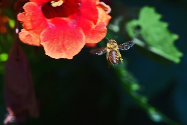 Bees in the Yard's Trumpeter Vine:8-6-18