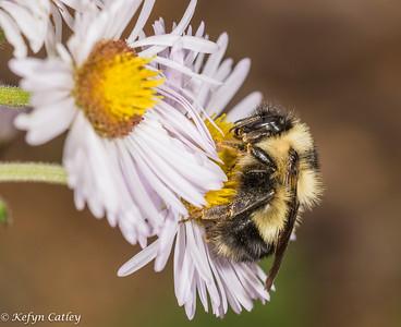 HYMENOPTERA: Apidae: Bombus impatiens, common eastern bumble bee