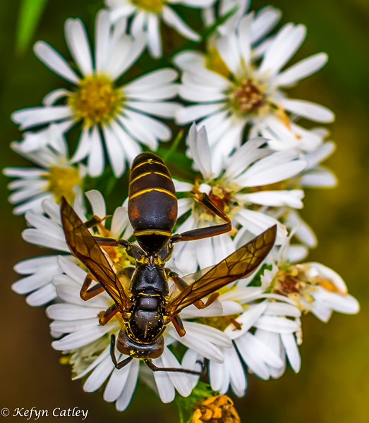 HYMENOPTERA: Vespidae:  Polistes fuscatus, paper wasp