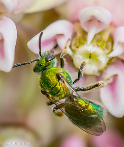 HYMENOPTERA: Halticidae: Augochlora sp, green sweat bee