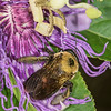 HYMENOPTERA: APIDAE: Xylocopa sp., carpenter bee