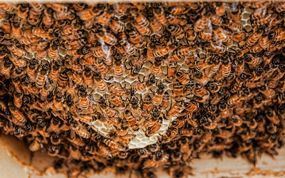 honey-bees-comb