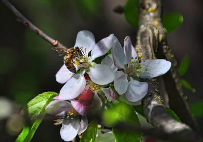 bee-apple-blossom