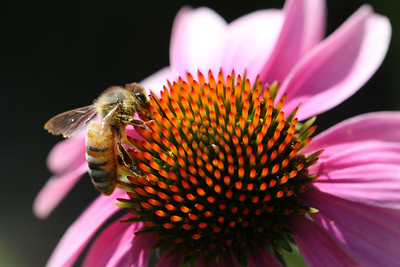 Honeybee, Purple Corn Flower, Aurora, Illinois