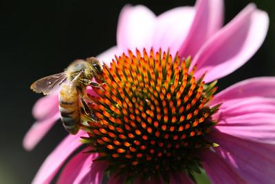 Honeybee, Purple Corn Flower, Aurora, Illinois