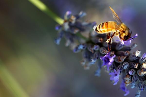 Honeybee, Lavender, Bellingham, Washington