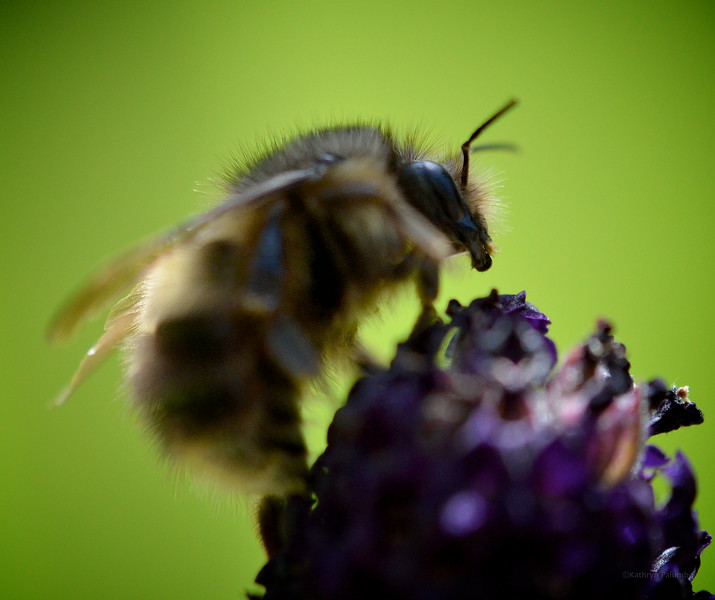 Bumble on Lavender