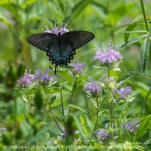 015-butterfly-wdsm-15jul16-12x12-007-4888