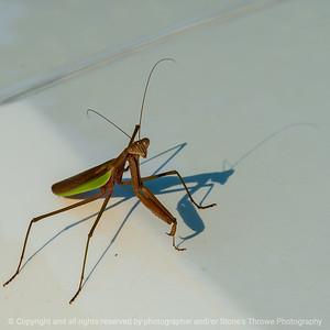 015-insect_praying_mantis-wdsm-07sep21-09x09-006-400-4685