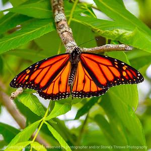 015-butterfly-wdsm-06jul19-03x03-006-400-1491