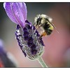 Bumble Bee with nectar on Lavender