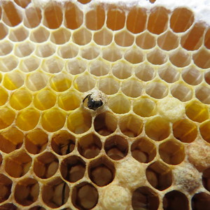 emerging bee