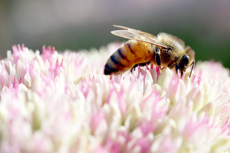 Honeybee, Blooming Sedum, Bellingham, Washington