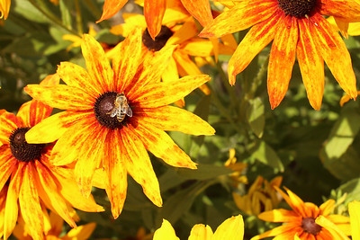 Brown-Eyed Susan, Rudbeckia, Honey Bee, Šilhavá, Czech Beekeepers, Trutnov, Czech Republic