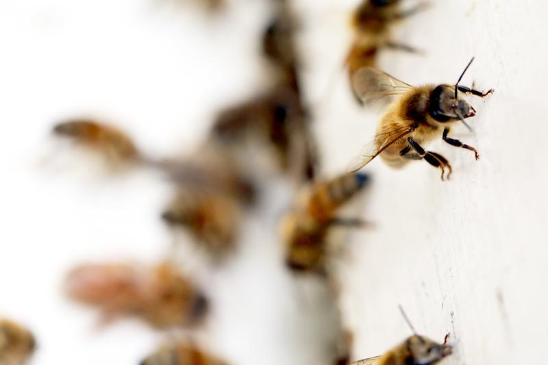 Honeybee Aurora, Illinois