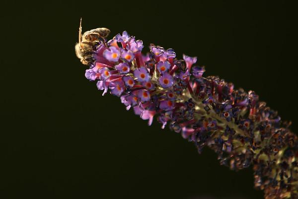 Salvia, Meadow Sage, Honey Bee, Šilhavá, Czech Beekeepers, Trutnov, Czech Republic