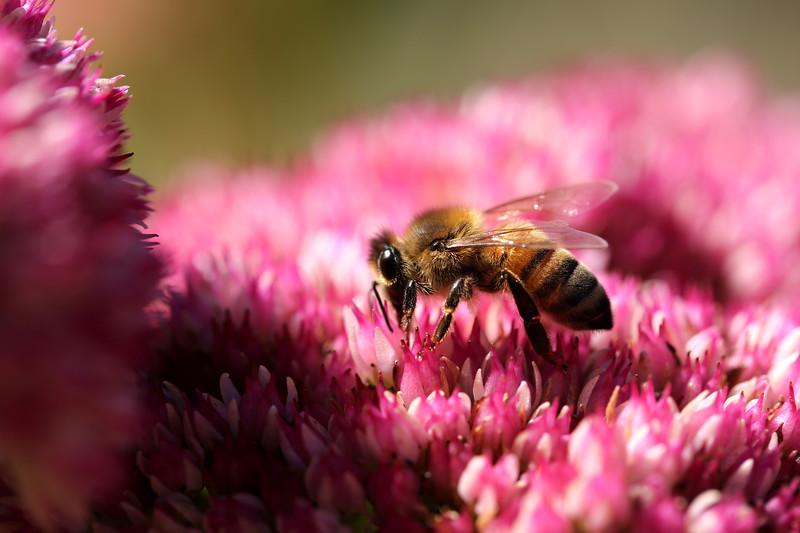 Honeybee, Blooming Sedum, Bellingham, Washington
