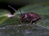 Click Beetle (Athous haemorrhoidalis). Copyright Peter Drury 2010