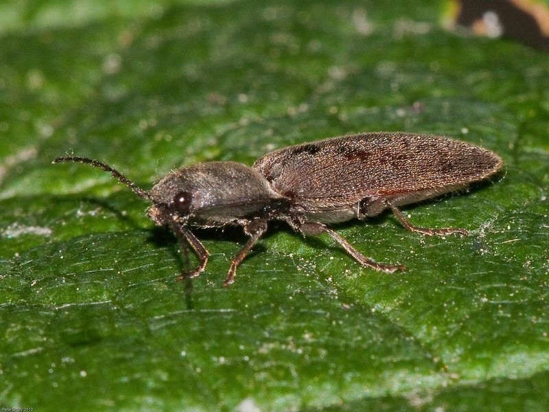 Hairy Click Beetle (Synaptus filiformis). Copyright Peter Drury 2010