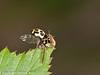 07 April 2011. 16 spot ladybird in Creech Wood.  Copyright Peter Drury 2011