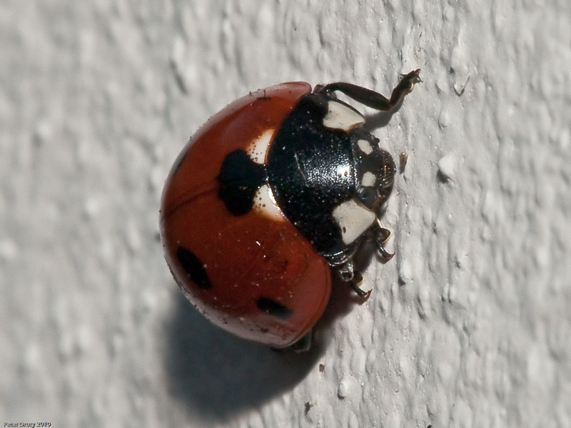 06 Apr 2010. 7-spot ladybird (Coccinella 7-punctata). Copyright Peter Drury 2010