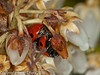 06 April 2011. 7 Spot Ladybird at Widley.  Copyright Peter Drury 2011