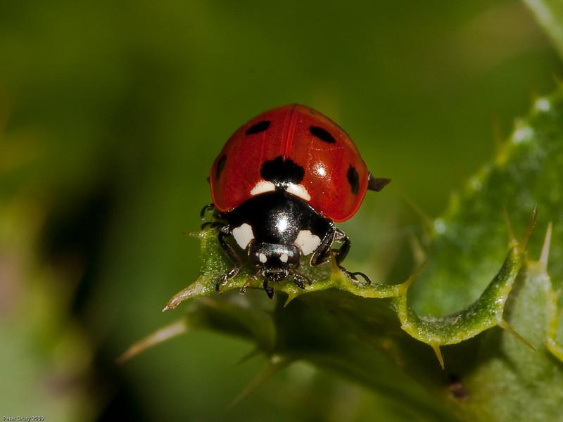 27 Sep 2009. 7 Spot Ladybird (Coccinella 7 punctata). Photo Copyright 2009 Peter Drury