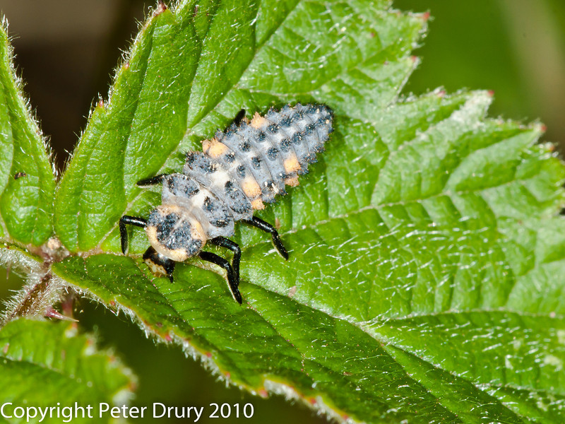09 Jul 2010. 7 - spot ladybird (Coccinella septempunctata) Larvae. Copyright Peter Drury 2010
