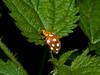 01 Oct 2009. Orange Ladybird (Halyzia 16-guttata). Copyright 2009 Peter Drury