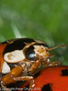 10 June 2010. Harlequin Ladybirds (Harmonia axyridis). Copyright Peter Drury 2010