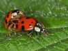 10 June 2010. Harlequin Ladybirds (Harmonia axyridis). Copyright Peter Drury 2010