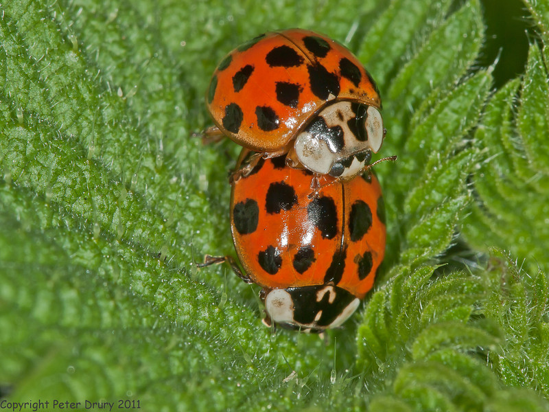 09 April 2011. Harlequin Ladybirds ID at Hilsea Lakes.  Copyright Peter Drury 2011