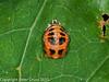 09 Aug 2010. Harlequin ladybird (harmonia axyridis) pupae. Copyright Peter Drury 2010