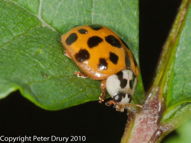 14 July 2010. Harlequin Ladybird . Copyright Peter Drury 2010