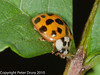 14 July 2010. Harlequin Ladybird . Copyright Peter Drury 2010
