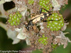 Rutpela maculata (male). Copyright Peter Drury 2010