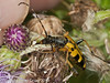03 Aug 2010 - Rutpela maculata. Copyright Peter Drury 2010